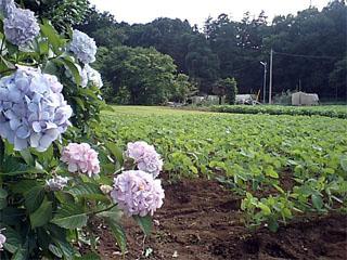 紫陽花と畑