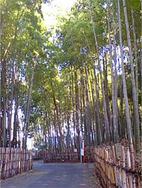 松戸市新作の竹林