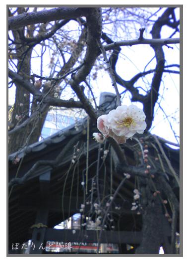 柏神社の梅