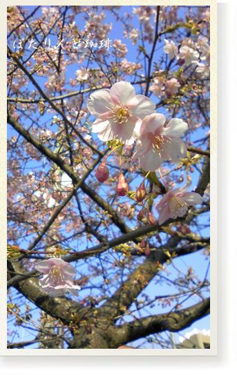今戸神社の河津桜