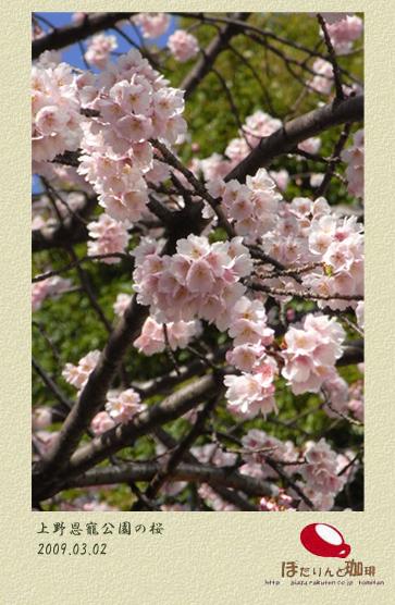 上の恩寵公園入口の桜