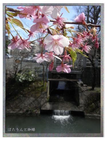 松戸坂川の桜