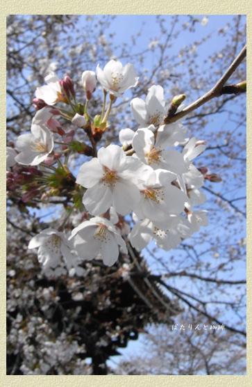 駒込吉祥寺の桜