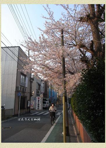 朝日浴びたる桜花