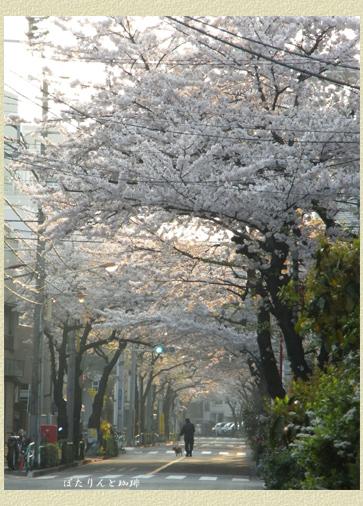 朝日ににほふ桜花