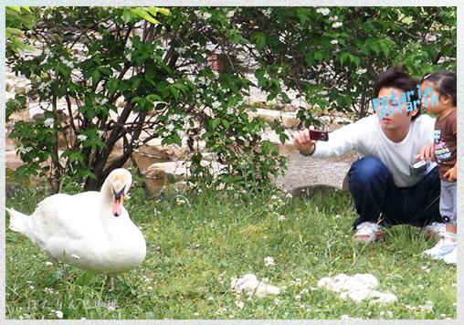白鳥とヒナと親子