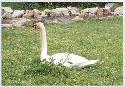 白鳥の旦那