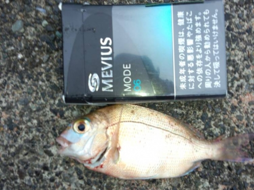 ブログ写真で一緒に磯釣りしてた友人は小さな真鯛マダイを釣り上げた真鯛をタバコと比較してシャメした