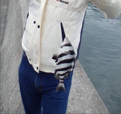 ブログ写真で磯釣りで釣れたシマシマ魚は石鯛の子供でサンバソウとかシマダイと呼ばれている魚を釣ったがキャッチアンドリリースした