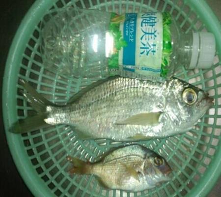 ブログ写真で友人が磯釣りで静岡県沼津市平沢で釣り上げた小さな真鯛とクロサギの写真です