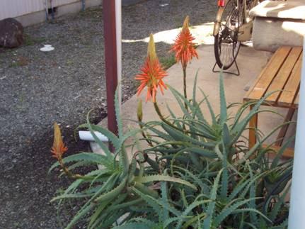 玄関向かって左側のアロエの花をデジカメ撮影
