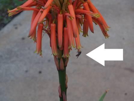 アロエの花に小さな蜂が蜜でも探してるところをクローズアップデジカメ撮影