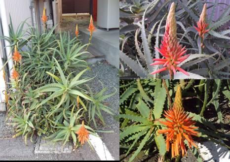 玄関向かって右側のアロエの花をデジカメ撮影した3枚を合成画像