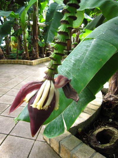 IMG_3552 bananahana