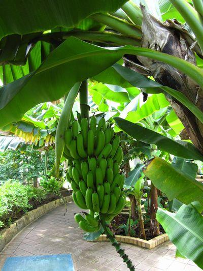 IMG_3551 バナナ