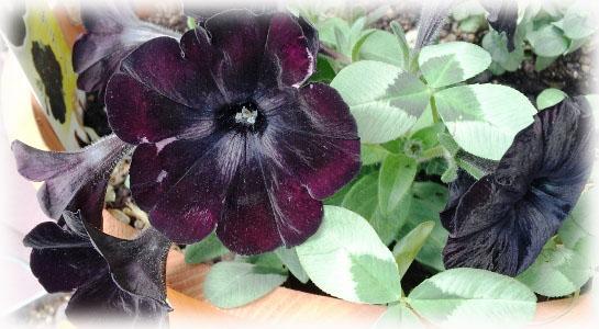 petyunia(black)2.jpg