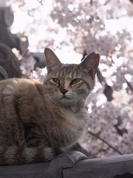 neko_sakurairo_01