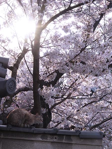 neko_sakurairo_03