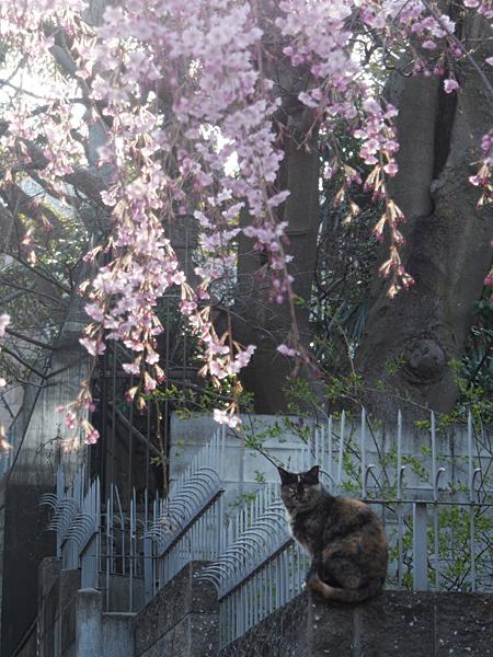 sakura_to_02