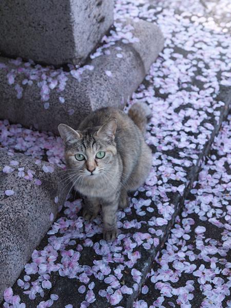 sakura_to_03