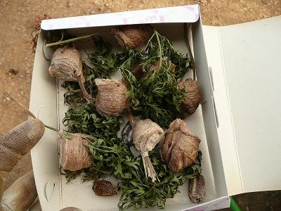 収集したカマキリの卵