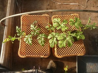 成長した花粉採取専用品種