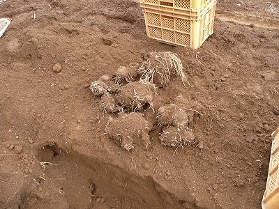 掘り出した芋