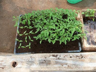 移植されるミニトマトとピーマンの苗