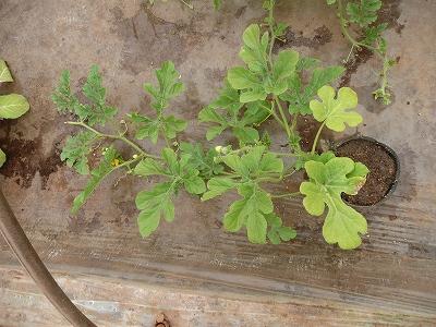 葉っぱが黄ばんできた花粉専用西瓜