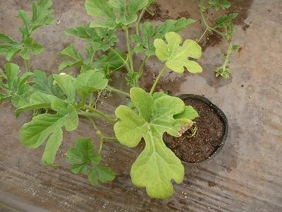 葉っぱが黄ばんできた花粉専用西瓜・ズーム
