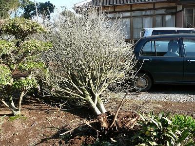 庭の金木犀倒れる