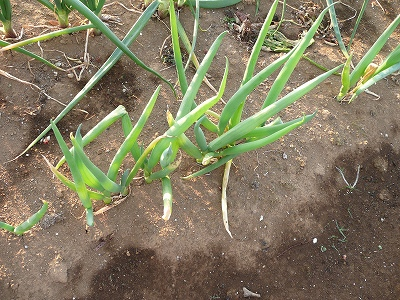 去年の9月下旬に種蒔きした長ネギ