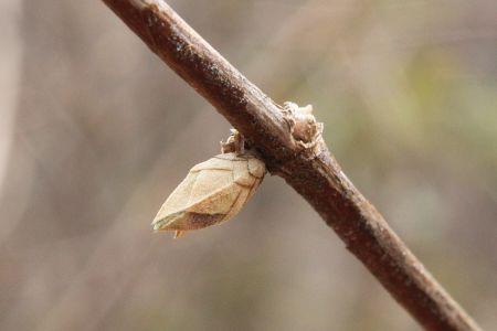 マルバウツギ冬芽