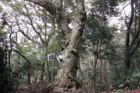 タブノキ巨木