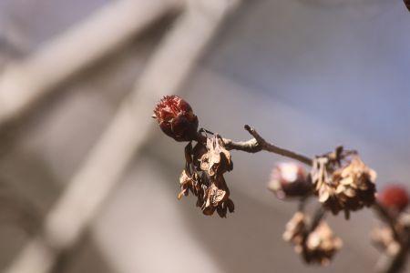 フサザクラ花