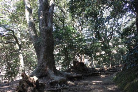 ケヤキ巨木