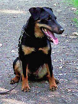 250px-Jagdterrier-Wikipedia.jpg