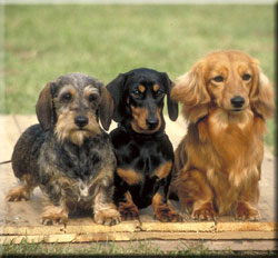 breed_dachshund.jpg
