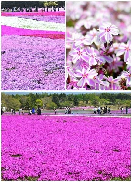 富士芝桜まつりb