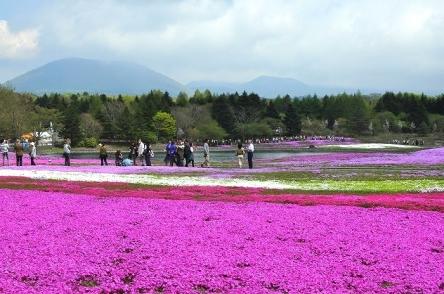 富士芝桜まつり (41)
