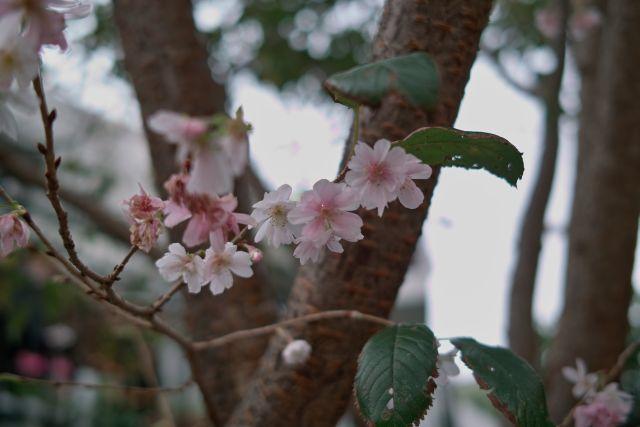 10月桜01c
