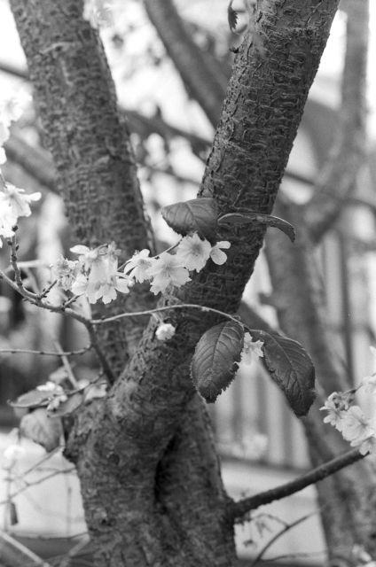 10月桜01b