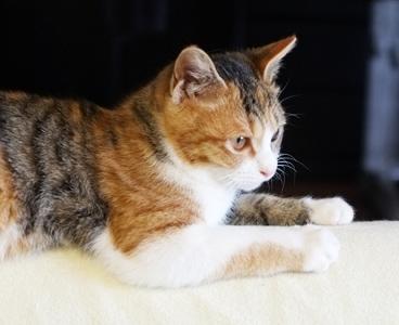 かわいい三毛猫レディの愛ちゃん