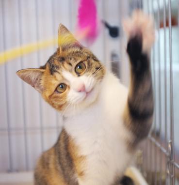 猫じゃらしで遊ぶ愛ちゃん。目がすっかり綺麗!