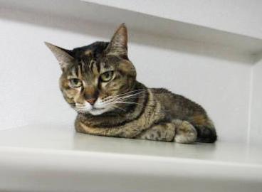 先輩猫のチャコさん。美人猫さんですねー
