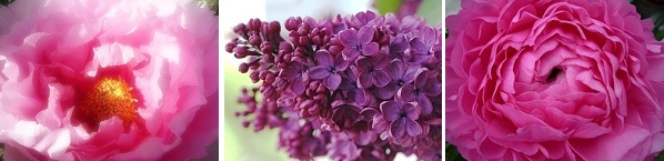 peony  lilac  beautiful   colour