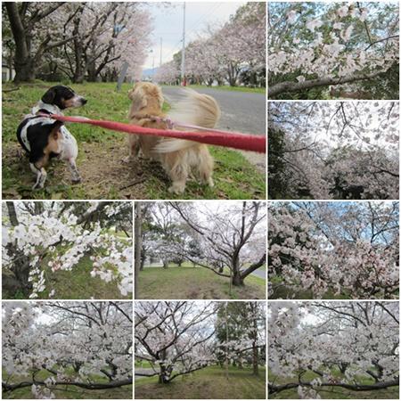 0407-桜1