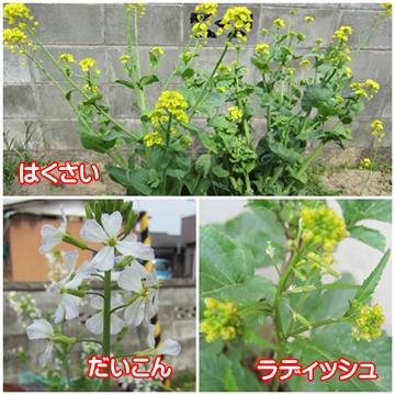 0413-野菜の花