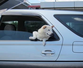 0827-白犬1.jpg