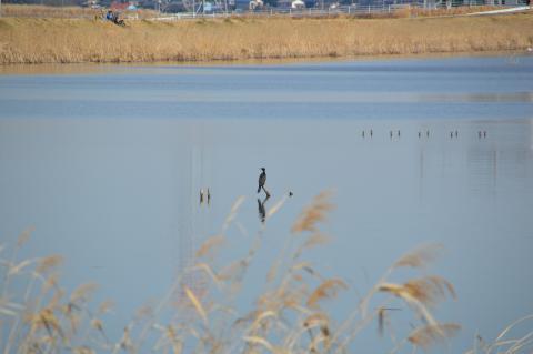 手賀川にてウィル